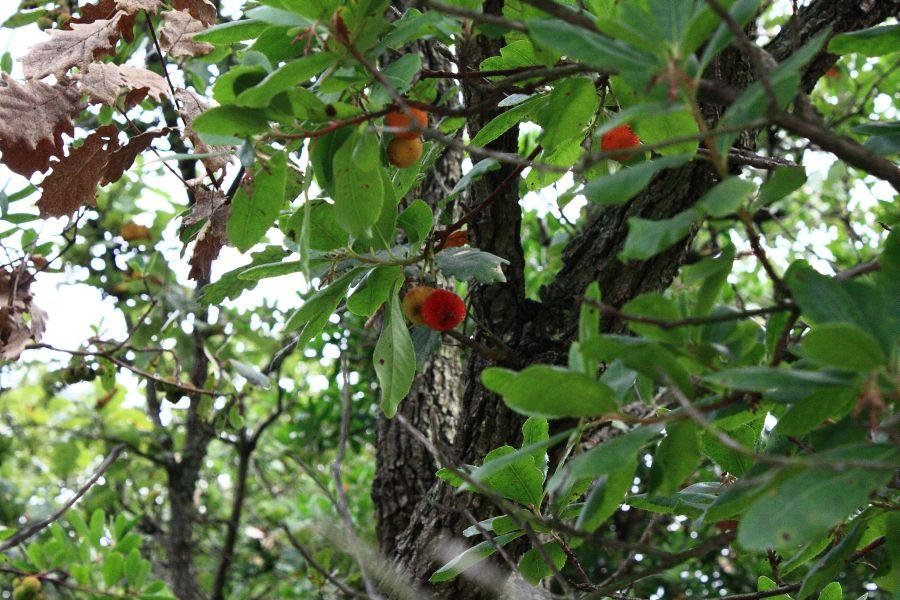 Solfatara drzewo truskawkowe