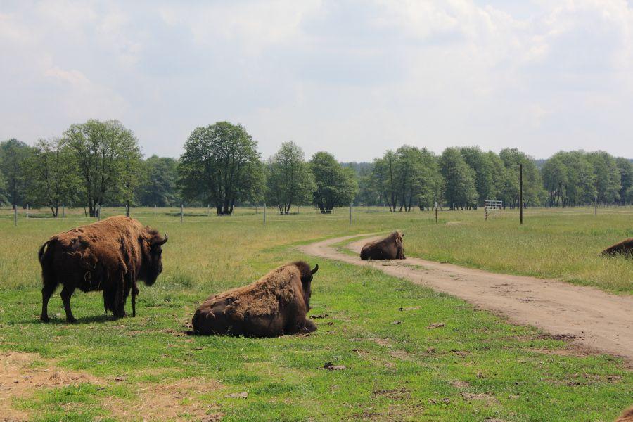 kurozwęki bizony