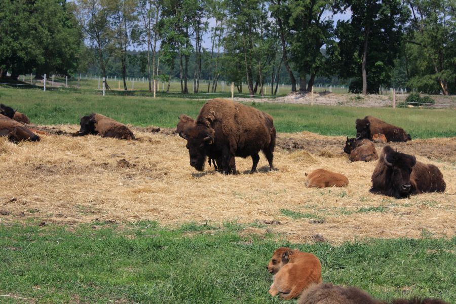 stado bizonów kurozwęki